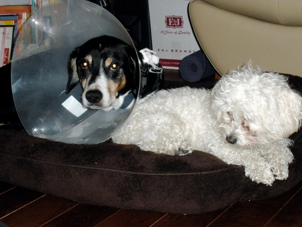 Conehead and pest