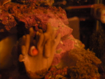 Yup, laid her eggs right on this soft leather coral.
