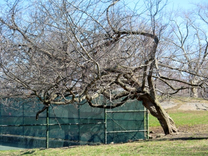 Back corner of the tennis courts, this tree wants a ball.