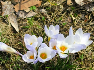 Crocuses peaking out.
