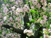Cherry blossoms? Crabapple?