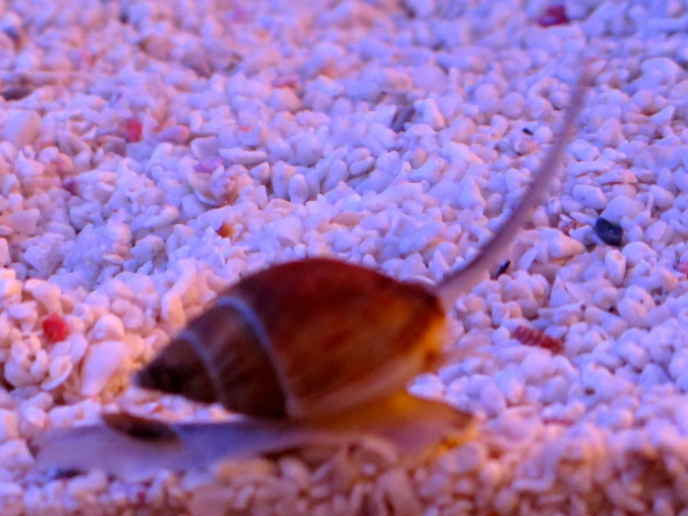 Nassarius snail. These guys live in the sand, popping up when they smell food.