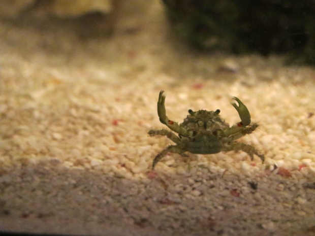 Did someone mention food? Emerald crab.