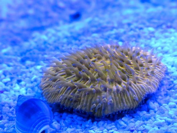 orange plate coral
