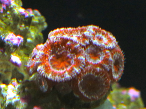 Acan, two new heads