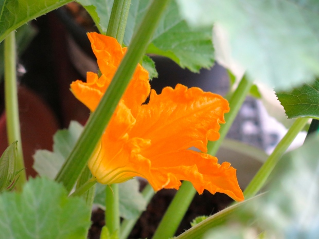 First zucchini flower of the season.