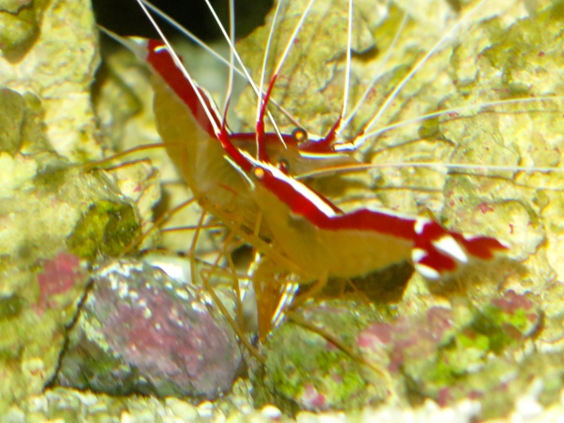 Pair of skunk cleaner shrimp enjoying their breakfast.