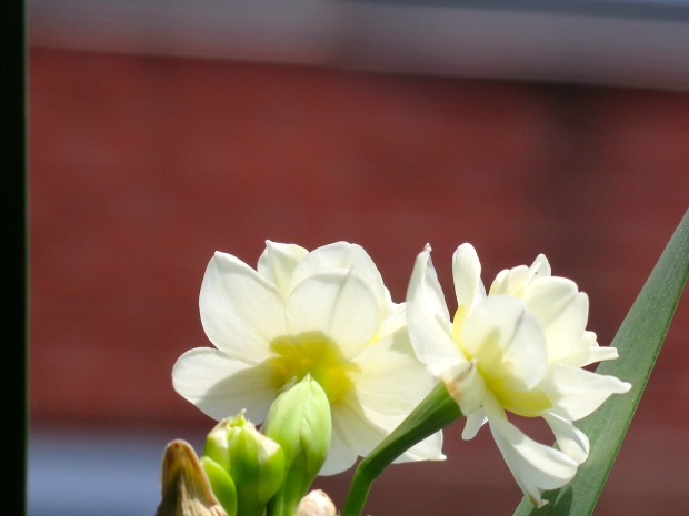 The blooms are much smaller than regular daffodils.