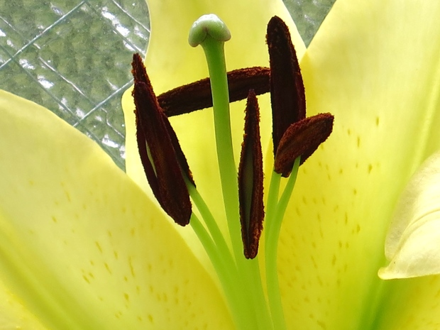 Lilies, a new love
