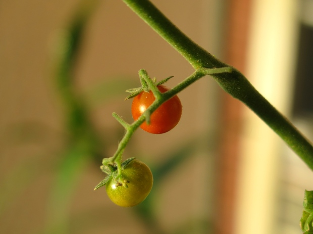 Art Child and I have taken to calling them tomato berries.