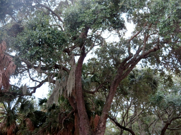 I could spend all day looking at these live oaks, truly magnificent.