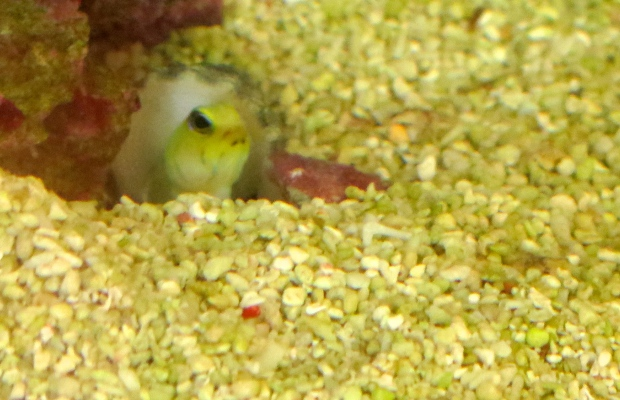 Jawfish poking his head out of his cave to see if it's all clear
