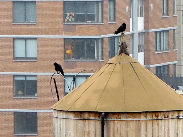 This pair has been hanging out on the water tower across from my apartment all morning.