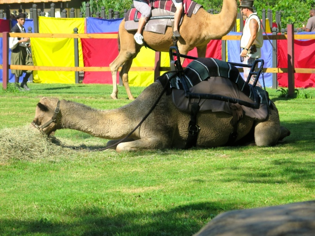 camel rides. They gave every camel a break after each ride around the ring. This guy was having the best time playing with his hay.